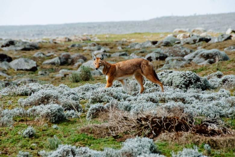 7 Days Bale mountains Trekking